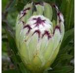 Protea Lime Light