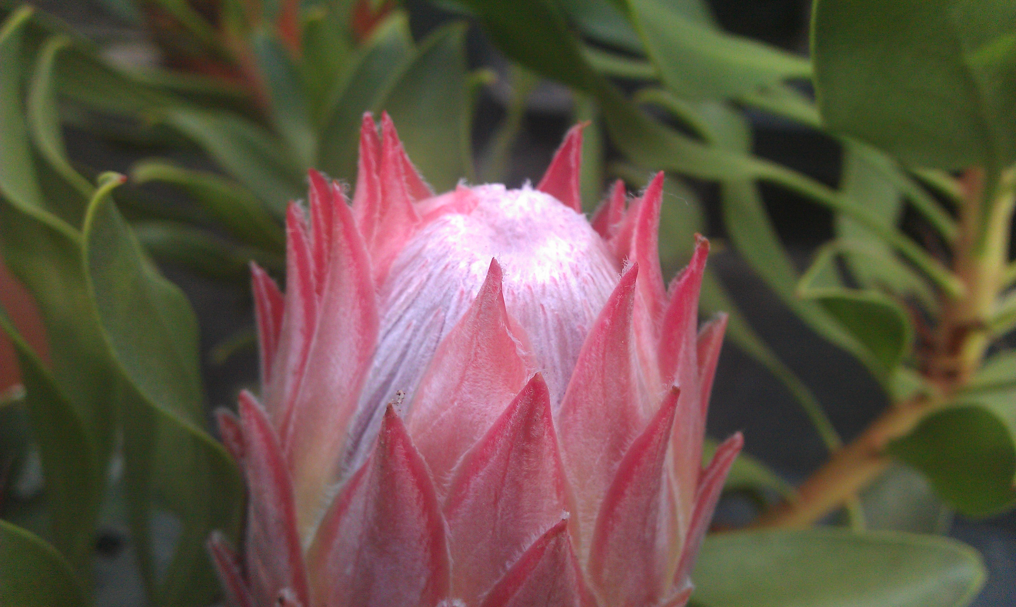 Protea Mini King Autumn