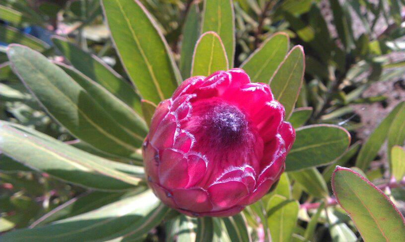 Protea Neriifolia Special Pink Ice