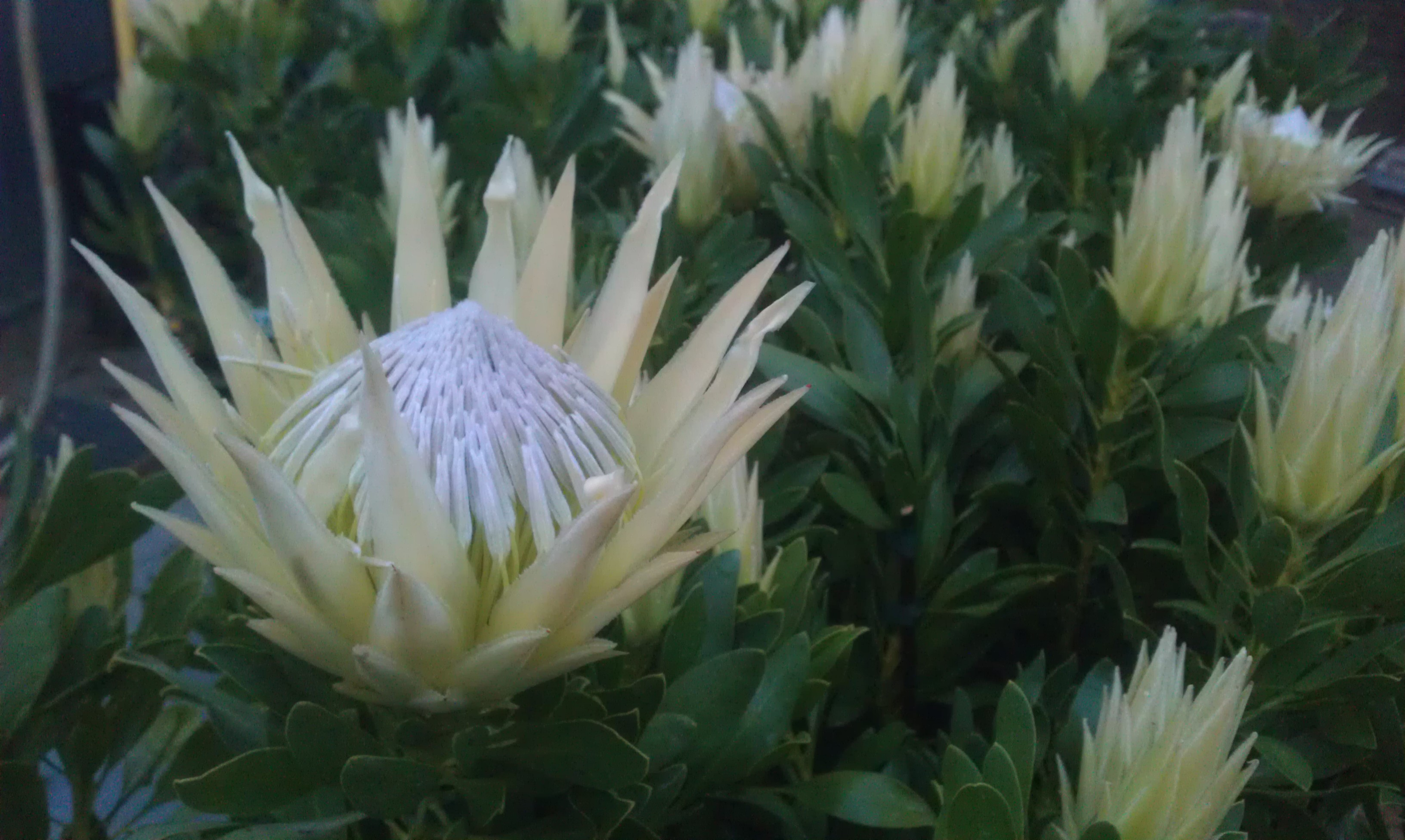 Protea Cynaroides White Crown